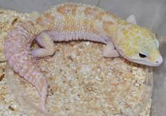 Adult Typhoon Leopard Geckos