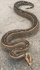 Boas and Anacondas