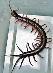 Chinese Giant Tiger Leg Centipedes