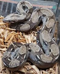 Small Anery Sonoran Boas Het for Leopard