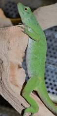 Neotropical Green Anoles