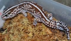 Adult Striped Whiteout African Fat Tailed Geckos