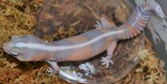 Adult Ghost Striped African Fat Tailed Geckos