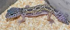 Small Jungle High Yellow Leopard Geckos w/regrown tails