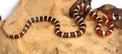 Baby Arizona Mountain Kingsnakes