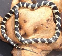 Baby Aberrant Black & White California Kingsnakes