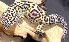 Adult Jungle High Yellow Leopard Geckos
