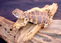 Small Red Nigerian Uromastyx