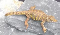 Small Yellow Nigerian Uromastyx