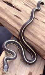 Baby Striped Black & White California Kingsnakes