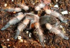 Mexican Red Knee Tarantulas Small