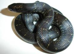 Baby Mexican Black Kingsnakes w/pattern