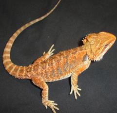 Bearded Dragons For Sale - LLLReptile