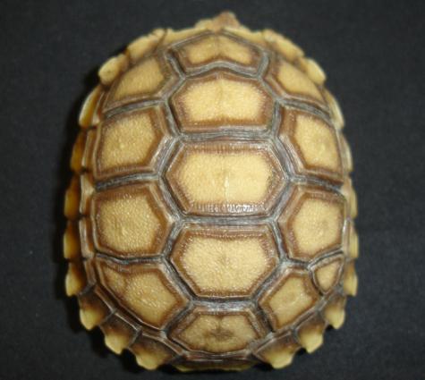 Baby Sulcata Tortoises w/extra scutes