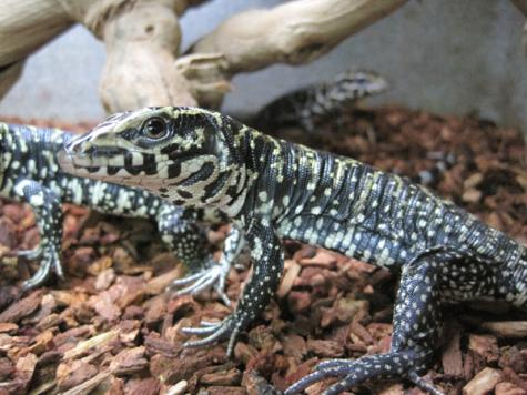 Image result for baby black n white tegu