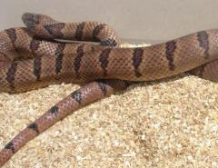 Sub Adult Variable Kingsnakes