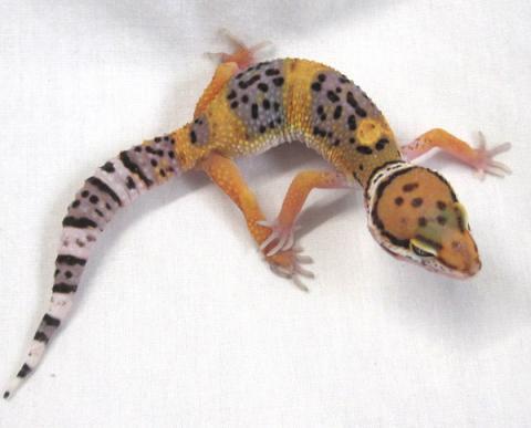 Small Hypo Tangerine Leopard Geckos