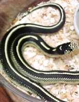 Baby Striped Coastal California Kingsnakes