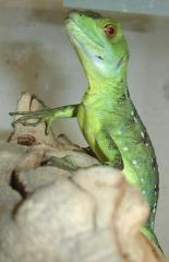 Small Green Basilisks