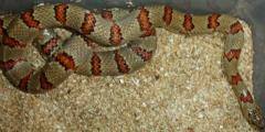Adult Variable Kingsnakes