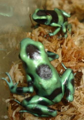 Costa Rican Green & Black Auratus Arrow Frogs