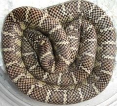 Sub Adult Florida Kingsnakes