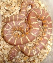 Baby Albino Brooks Kingsnakes