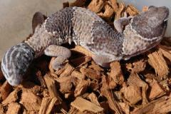 Sub Adult African Fat Tailed Geckos w/regrown tails