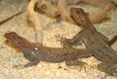 Red Headed Agamas