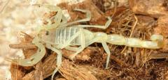 Egyptian Green Scorpions