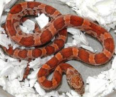 Baby Sunkissed Cornsnakes