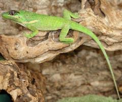 Cuban Knight Anoles