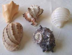 Large Hermit Crab Shells