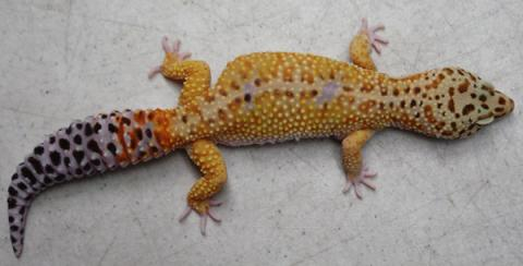 Remarkable, Pics of adult leopard geckos for