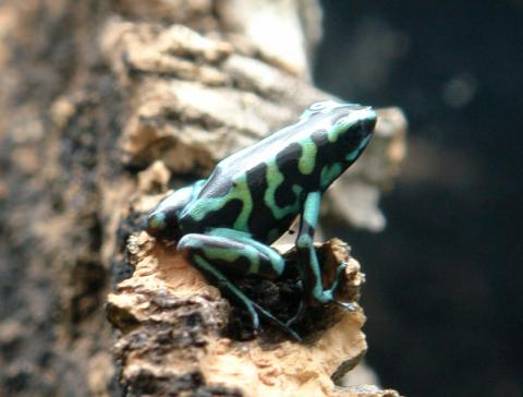 Reticulated Green & Black Auratus Arrow Frogs