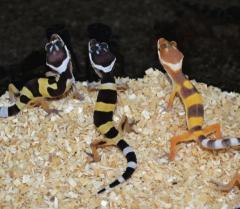 Baby High Yellow Leopard Geckos