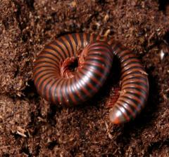 Rusty Red Millipedes